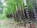 Biến phụ phẩm cây mía thành phân bón hữu cơ